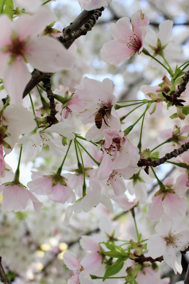 hachi-chan 蜂